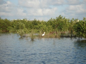 Heron in the Mangroves, Snook Islands, Lake Worth FL